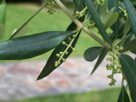Olea Europaea, nome scientifico dell'albero di olivo
