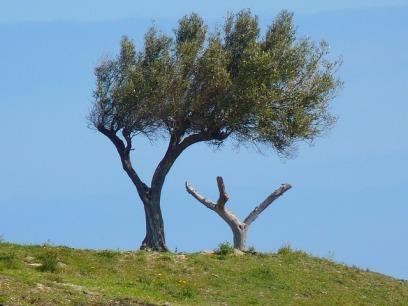 Albero di olivo un po' storto